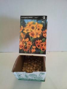 Ornitugalum Dubium Laranja caixa de gaveta c/ 150