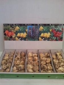 Fritilária Imperial em show box c/50