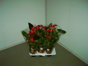 Anthurium Vaso Vermelho