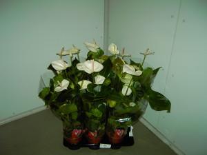 Anthurium Vaso Branco