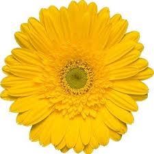 Gerbera Amarela Olho Verde