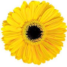 Gerbera Amarela Olho Preto