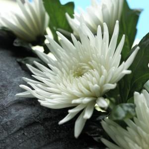 Crisantemo Anastacia Branco