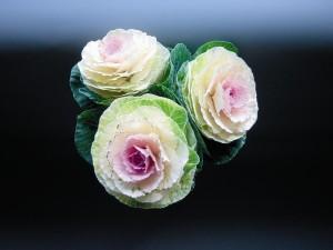 Brassica Crane Bicolor