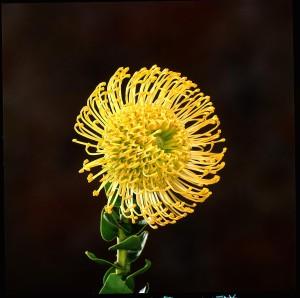 Leucospermum Amarelo