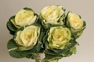 Brassica Branca