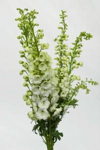 Delphinum Branco