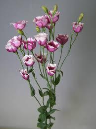 Eustoma Matizada Rosa