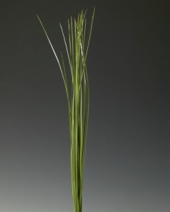 Speargrass