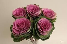 Brassica Crane Pink