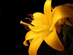 Lilium Amarelo