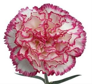 Branco matizado rosa