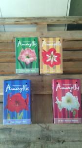 Bolbo Holanda Amarilis Disponíveis 4 cores cada cx contém 1 bolbo